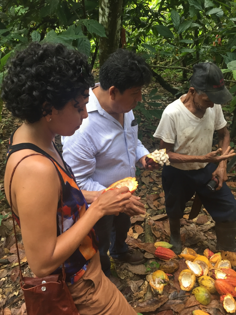 Eating Green Cacao Beans - Meeting with farmers and tasting cacao fruit and beans straight out of beautiful pods just harvested with Gualberto at Öko-Caribe farm near San Francisco de Marcolis, Dominican Republic