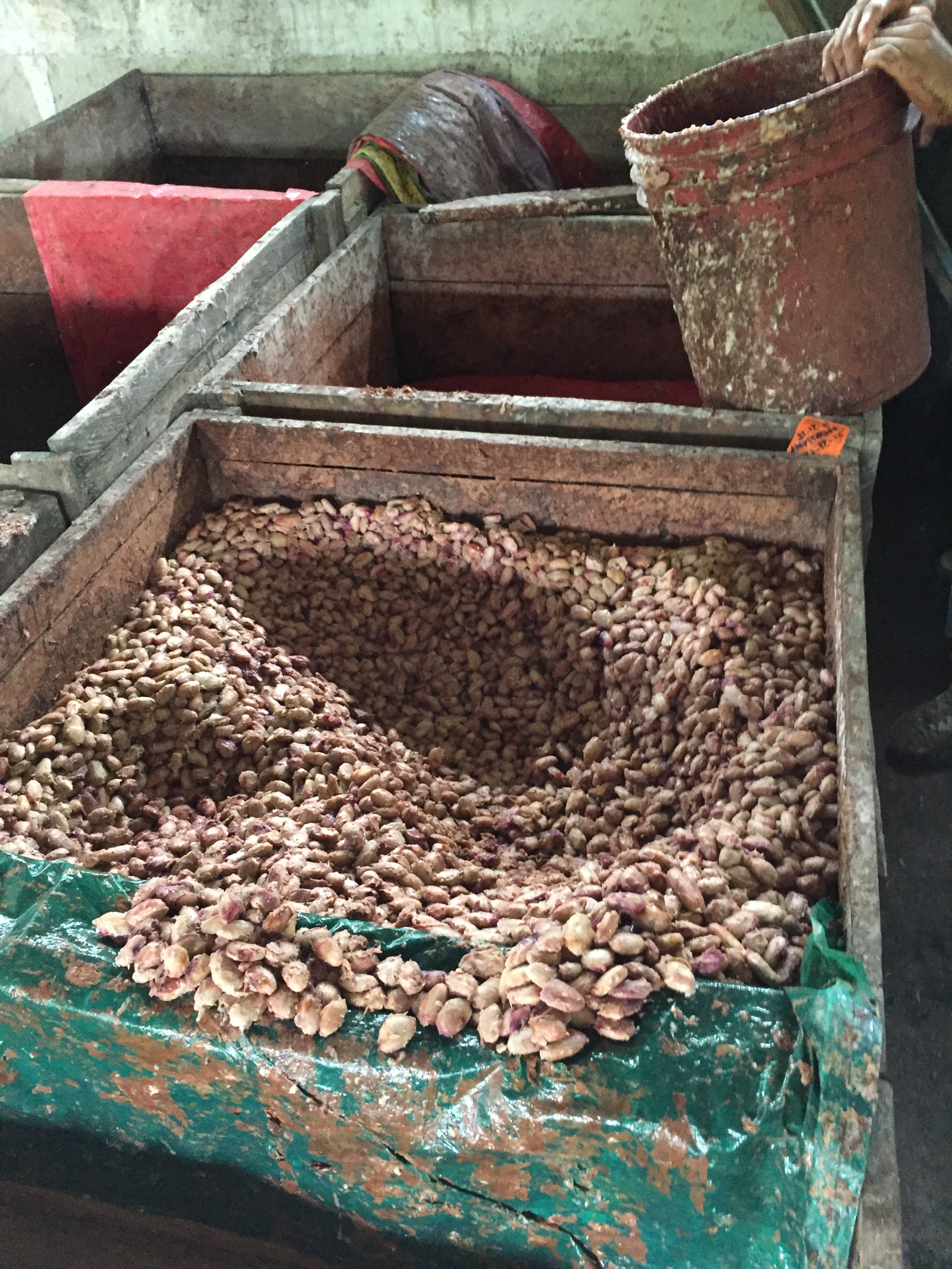 Fermentation - Learning about properly fermenting fine quality cacao with Giff at Cacao Bisiesto farm and post harvest processing in La Dalia, Nicaragua.