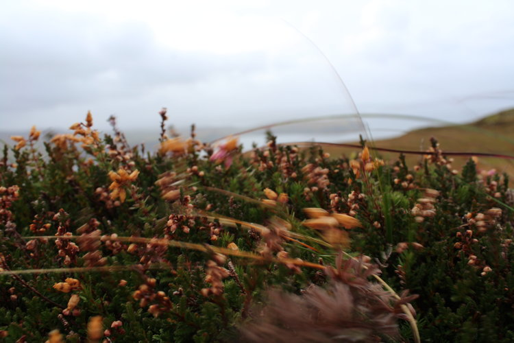 The wild flowers were insanely beautiful in Uig!