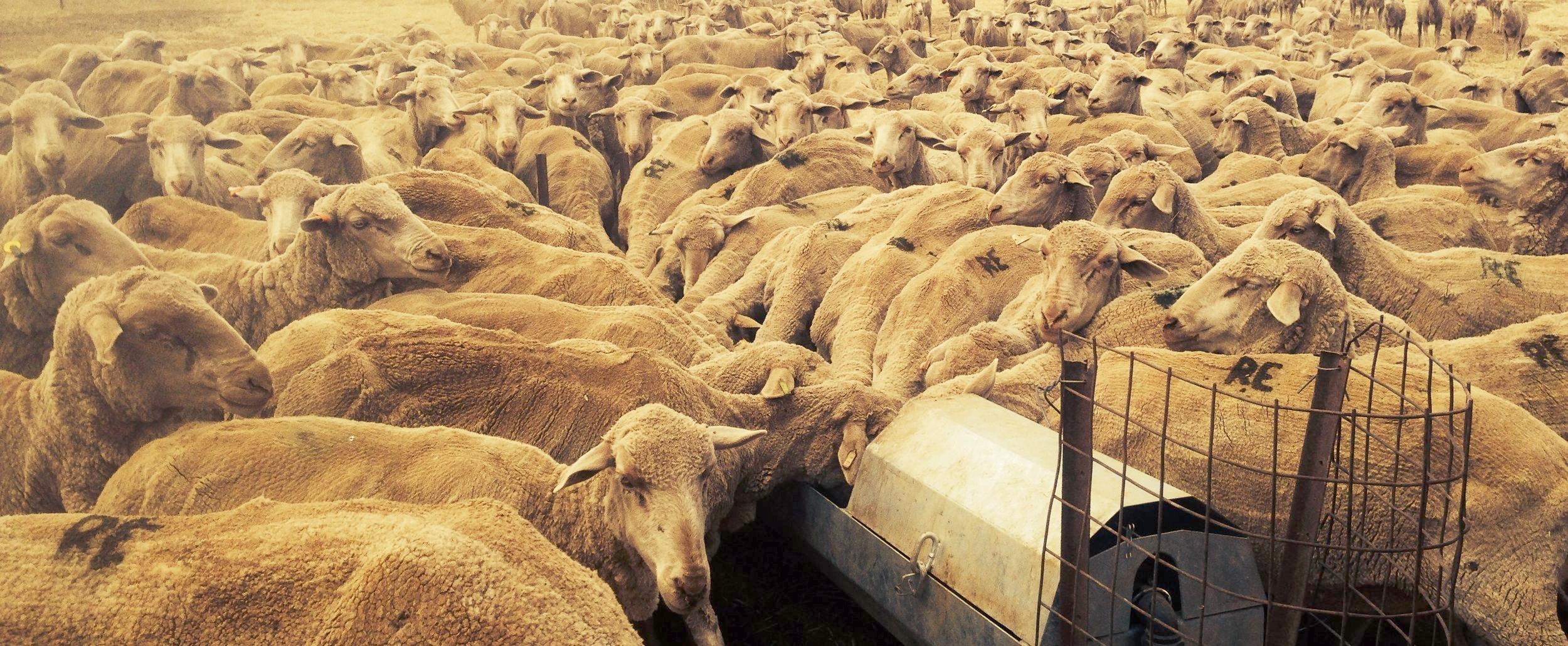 Merino-sheep-clare-south-australia