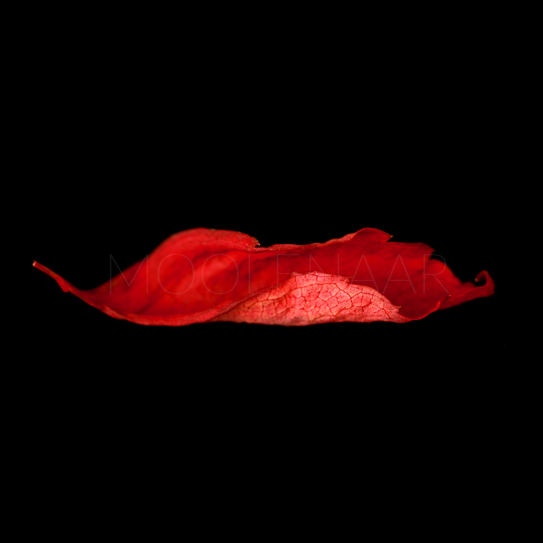 "Autumn Kiss  by Lucien Moolenaar C-Type Print Aluminium & Perspex Mounted, 36x36"" (Edition of 10)"