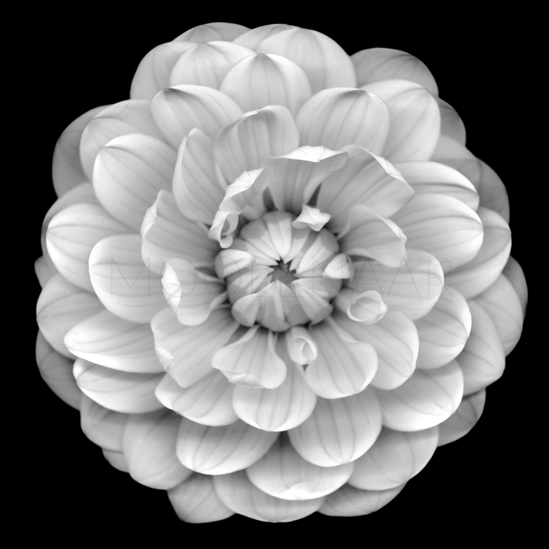 "Dahlia  by Lucien Moolenaar C-Type Print Aluminium & Perspex Mounted, 36x36"" (Edition of 10)"