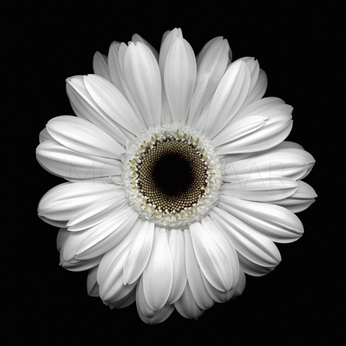 "Daisy I  by Lucien Moolenaar C-Type Print Aluminium & Perspex Mounted, 36x36"" (Edition of 10)"