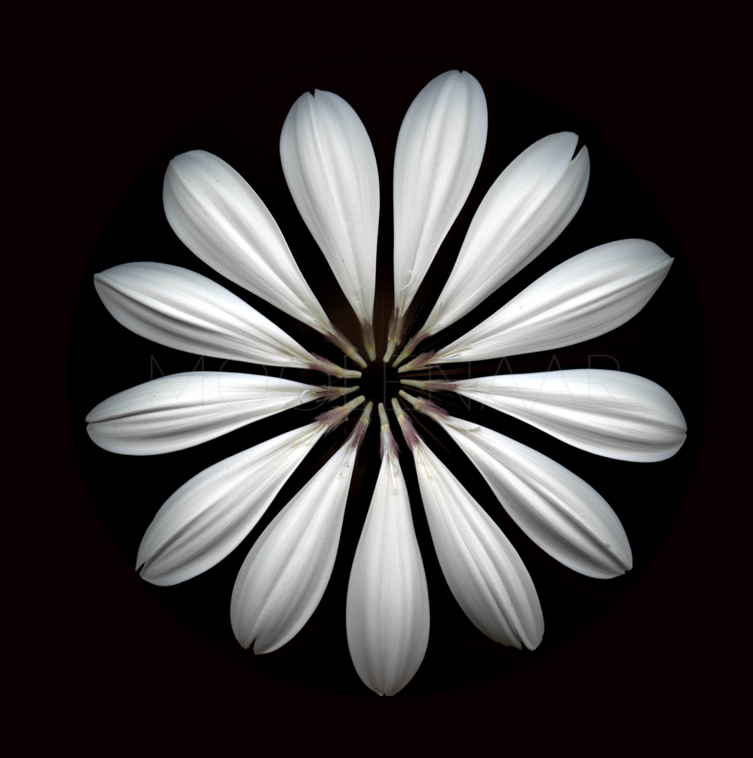 "Daisy II  by Lucien Moolenaar C-Type Print Aluminium & Perspex Mounted, 36x36"" (Edition of 10)"