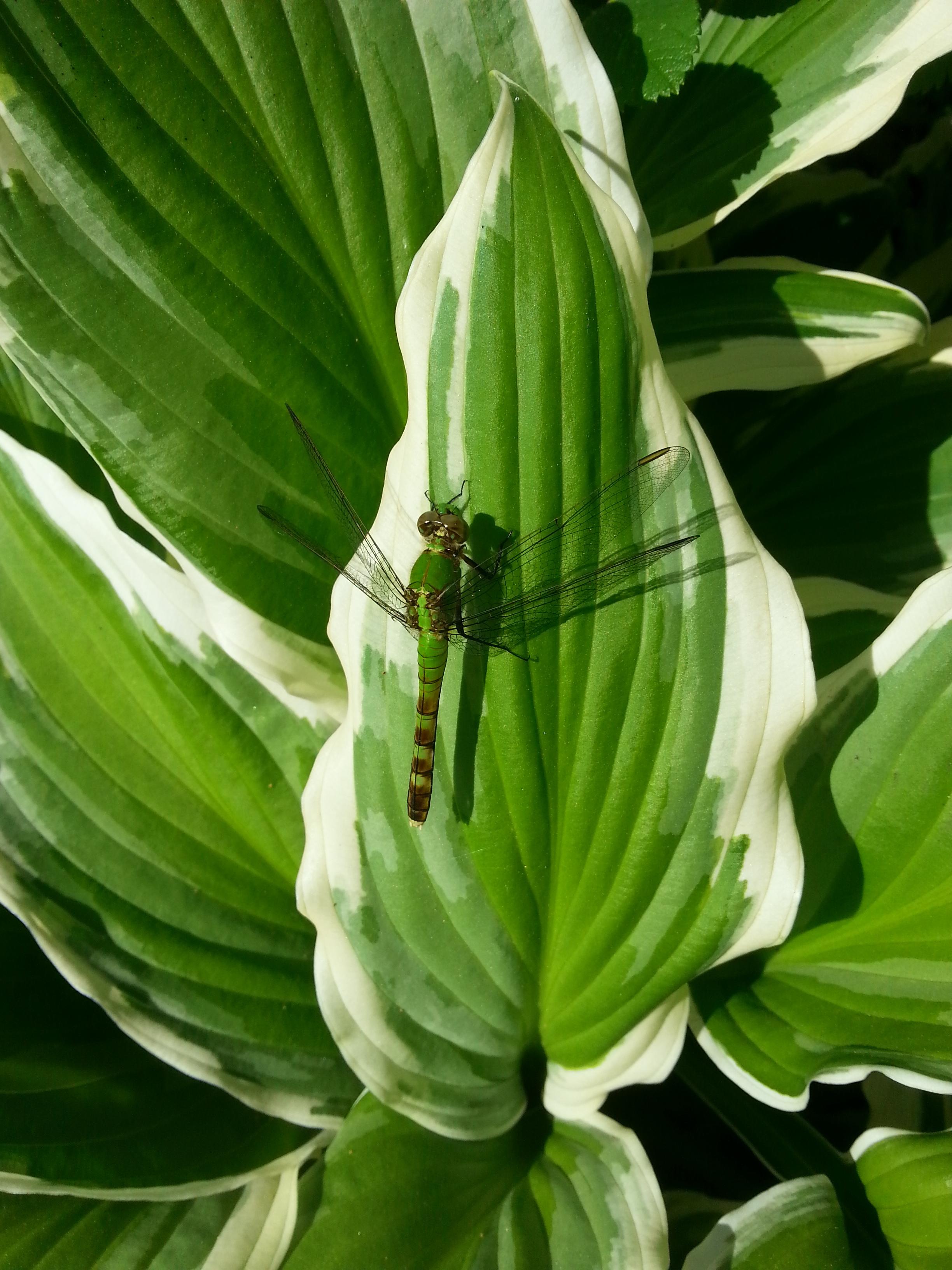 Hosta, dragonfly
