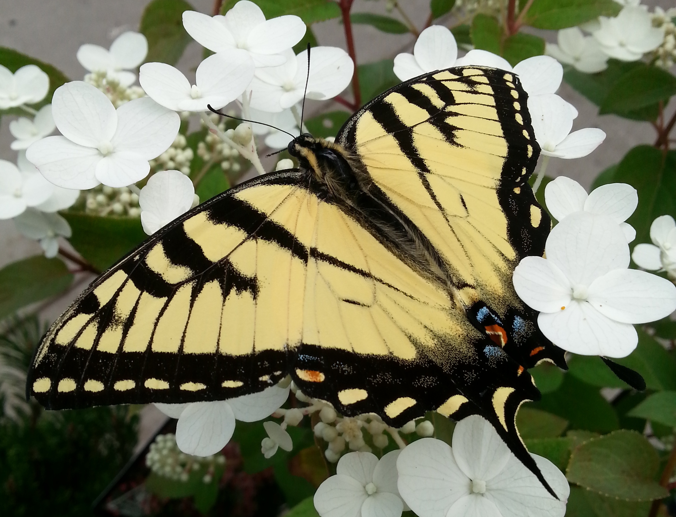 Swallowtail on Hydrangea