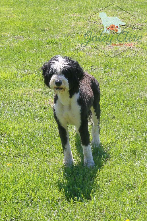 What Is A Bernedoodle Joley Aire