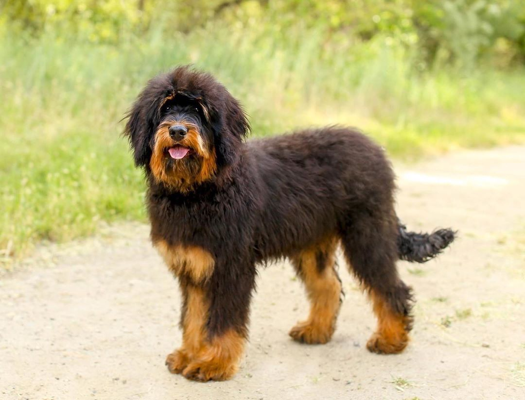 Bernedoodle Characteristics And Buying Guide Joley Aire