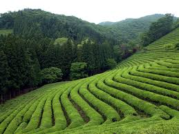 teafields.jpeg