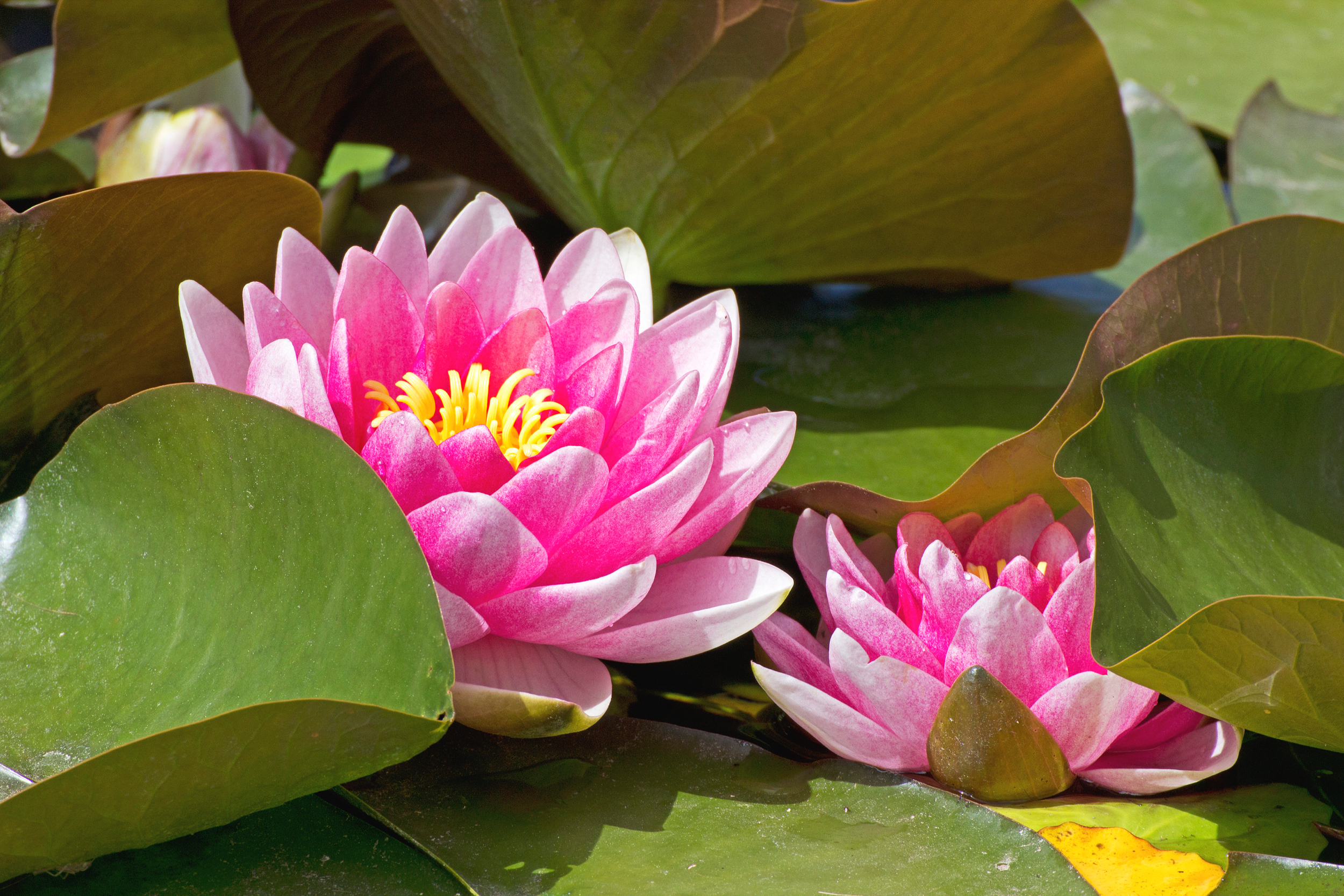 lotus-flowers-with-leaves_z17C-vt_.jpg