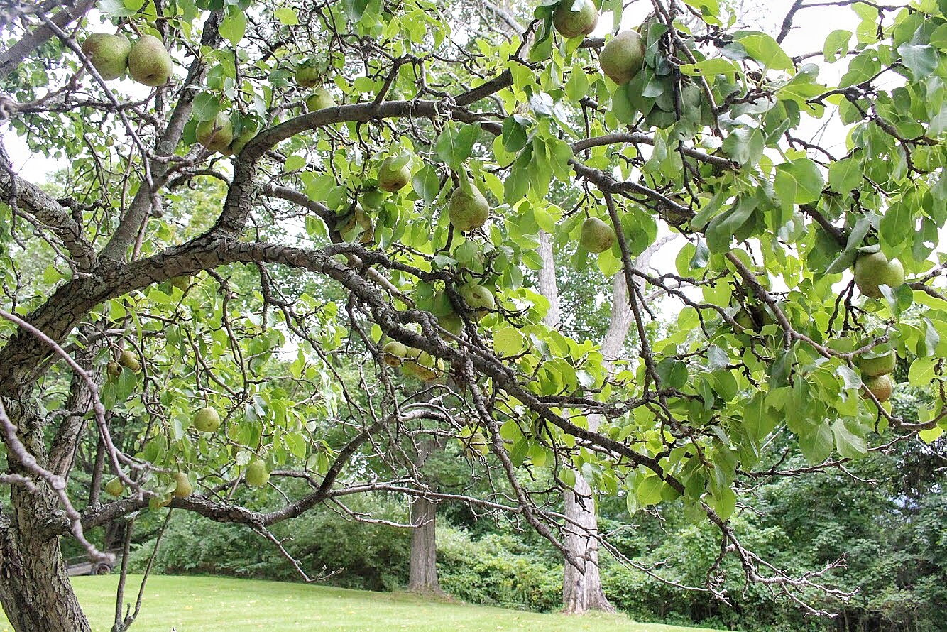 pear tree in naples