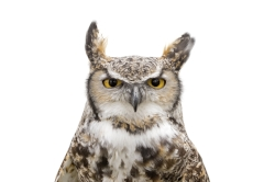 The MRCC's Great horned owl, Bu