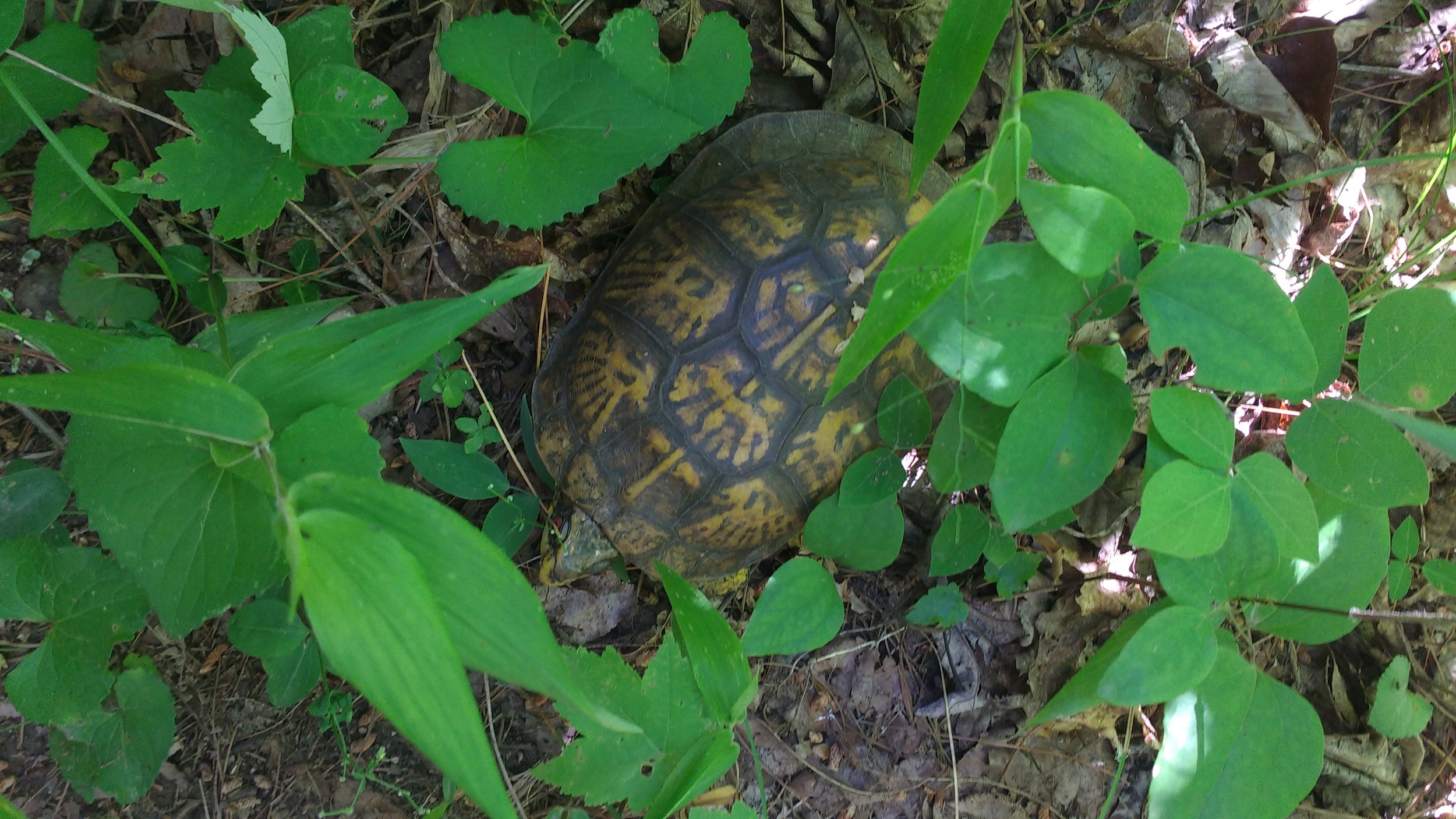 Box turtle hiking on the Sheltowee Trace