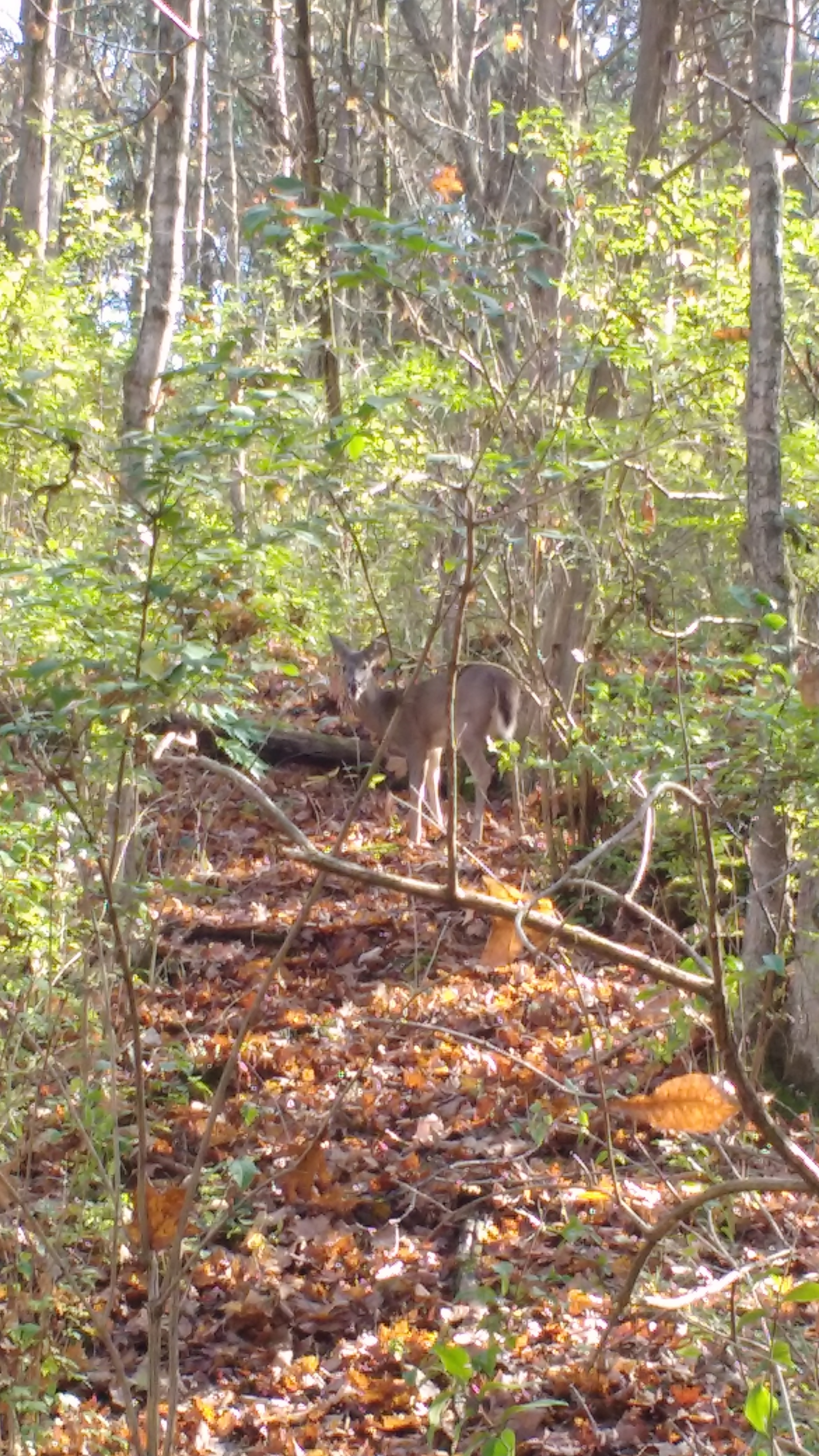 A deer enjoying the safety of Raven Run Nature Sanctuary