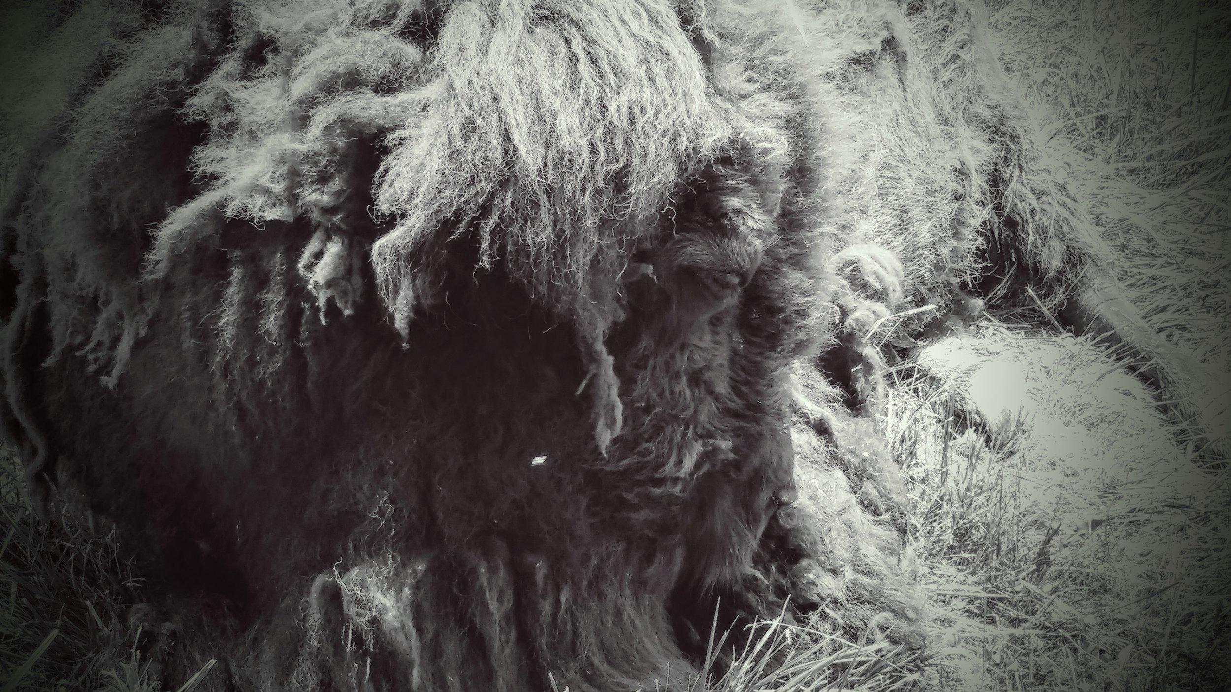 A bison resting at Big Bone Lick State Historic Site