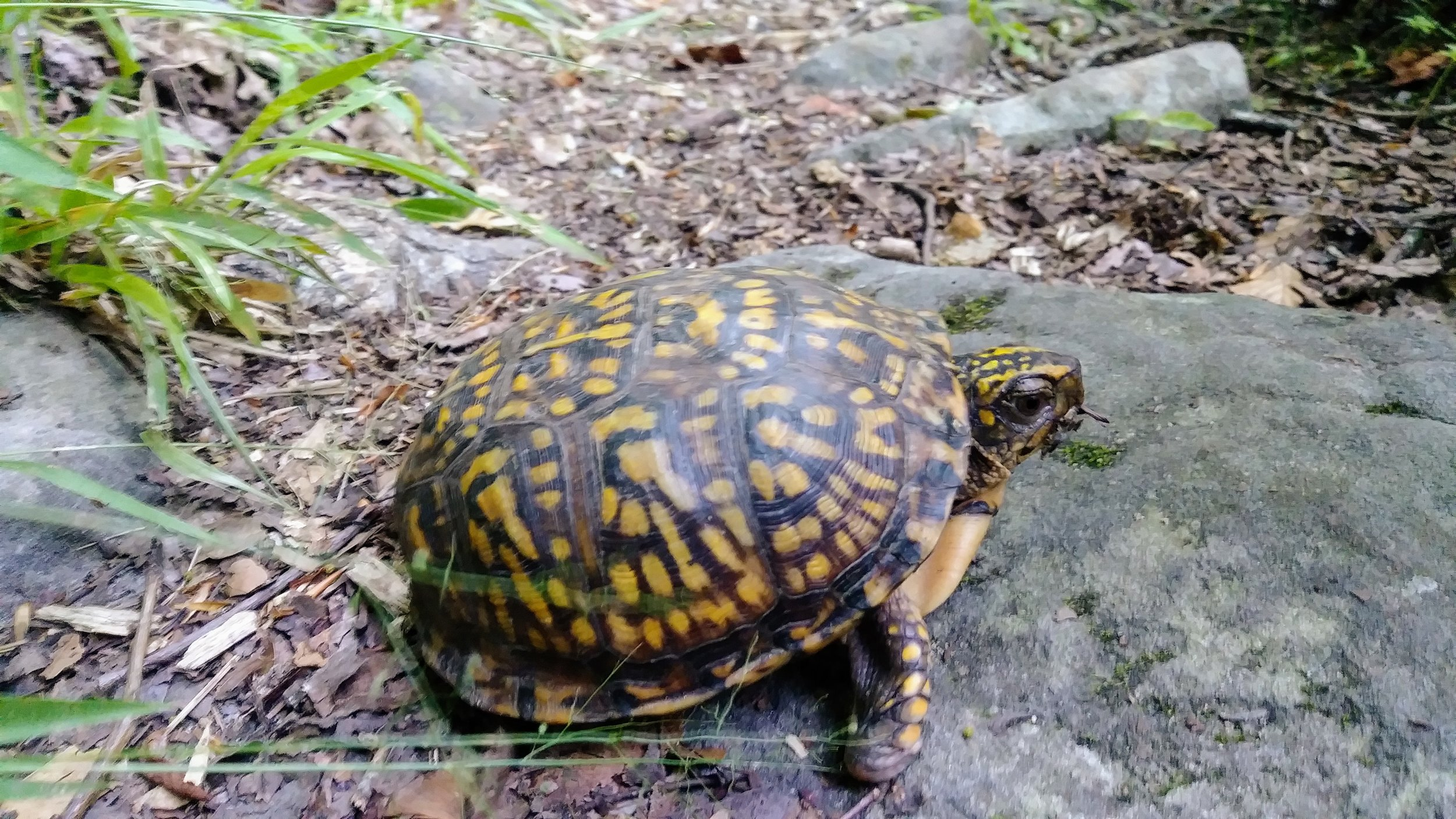 A box turtle on the Cumberland River Trail (Trail 2)