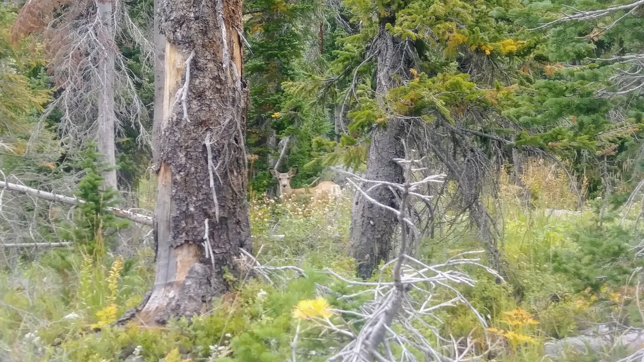 One of many mule deer spotted on the descent from Gilpin Lake