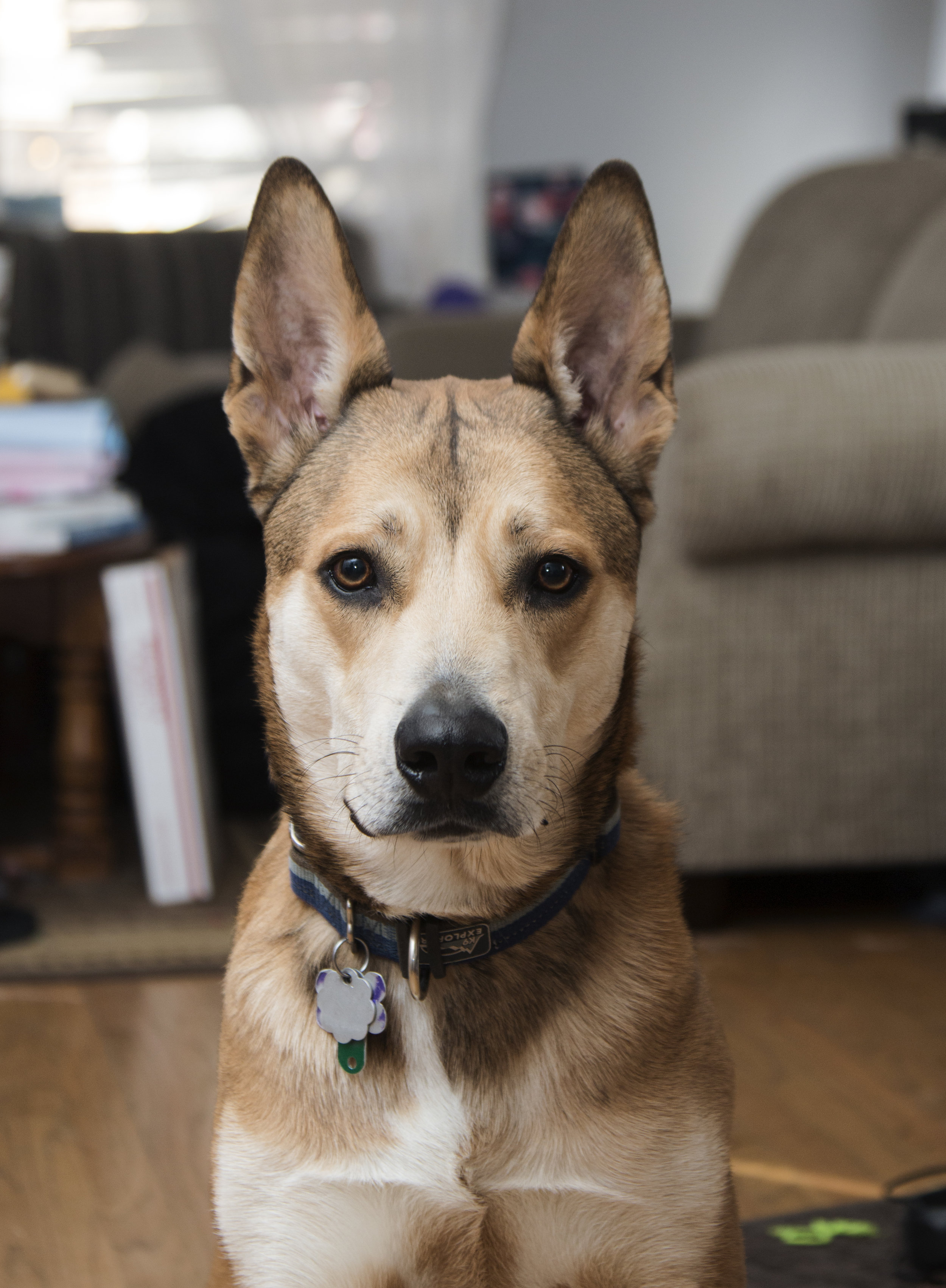 This is one of my dogs, Tamo. He's a rescue from Summit County Animal Control.   Breed: American Dingo Favourite activity: Running around the yard with a stick.  Instagram handle:  @Tomato_the_Dingo