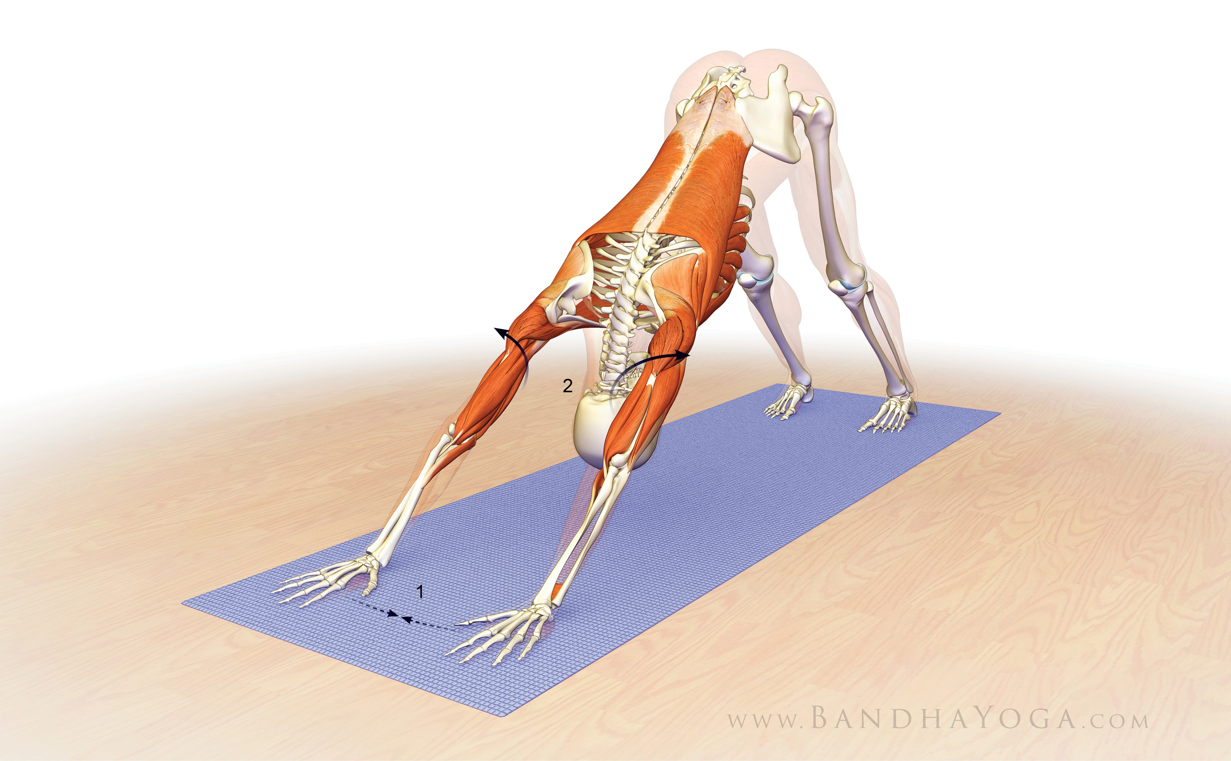 How about doing down dog without any pain in your wrists or shoulders? It is possible when you understand and engage the correct muscles!
