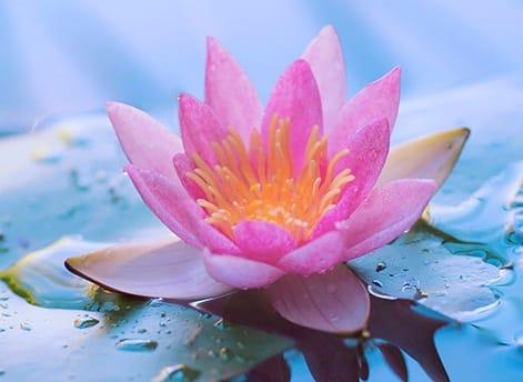 lotus-water-lily-dream.jpg