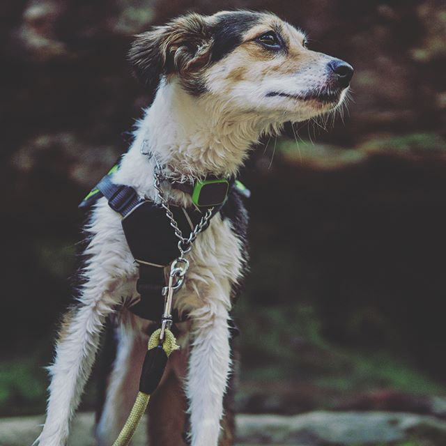 Nothing beats hiking with four-legged critters, especially when they naturally strike the perfect poses! And yes, that is a @whistlelabs activity tracker for pets on her collar #dogslovewhistle @k9lily