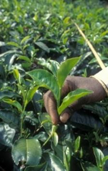Harvesting tea leaves at a private tea estate in the Nilgiris mountains, India. (Source:      FAO     )