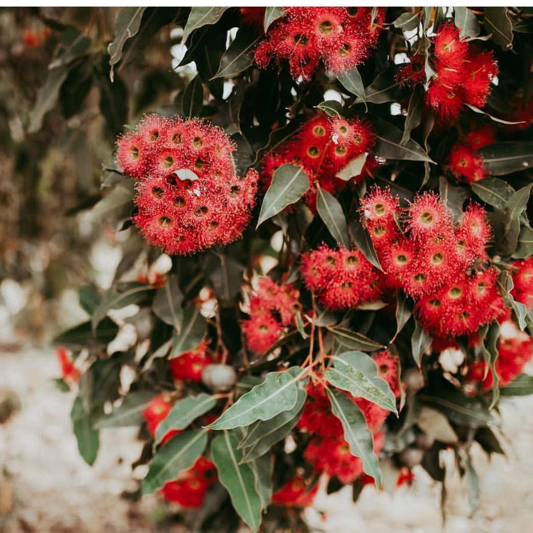 COVER IMAGE:Thank you Emma Leonard from @littlewildlovephotography for your permission to use the beautiful image of flowering gums for our revitalised site design! -