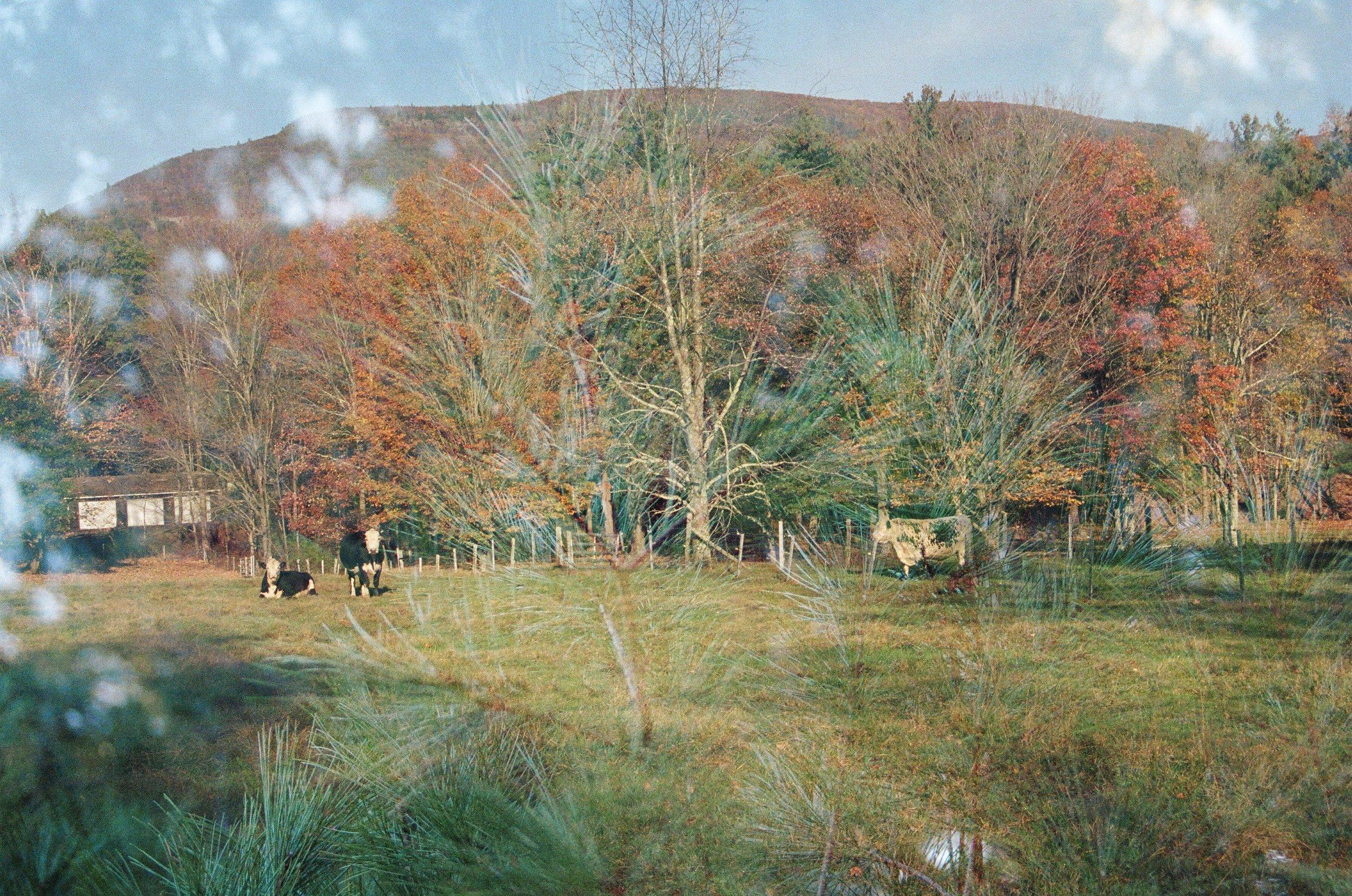 October Cows