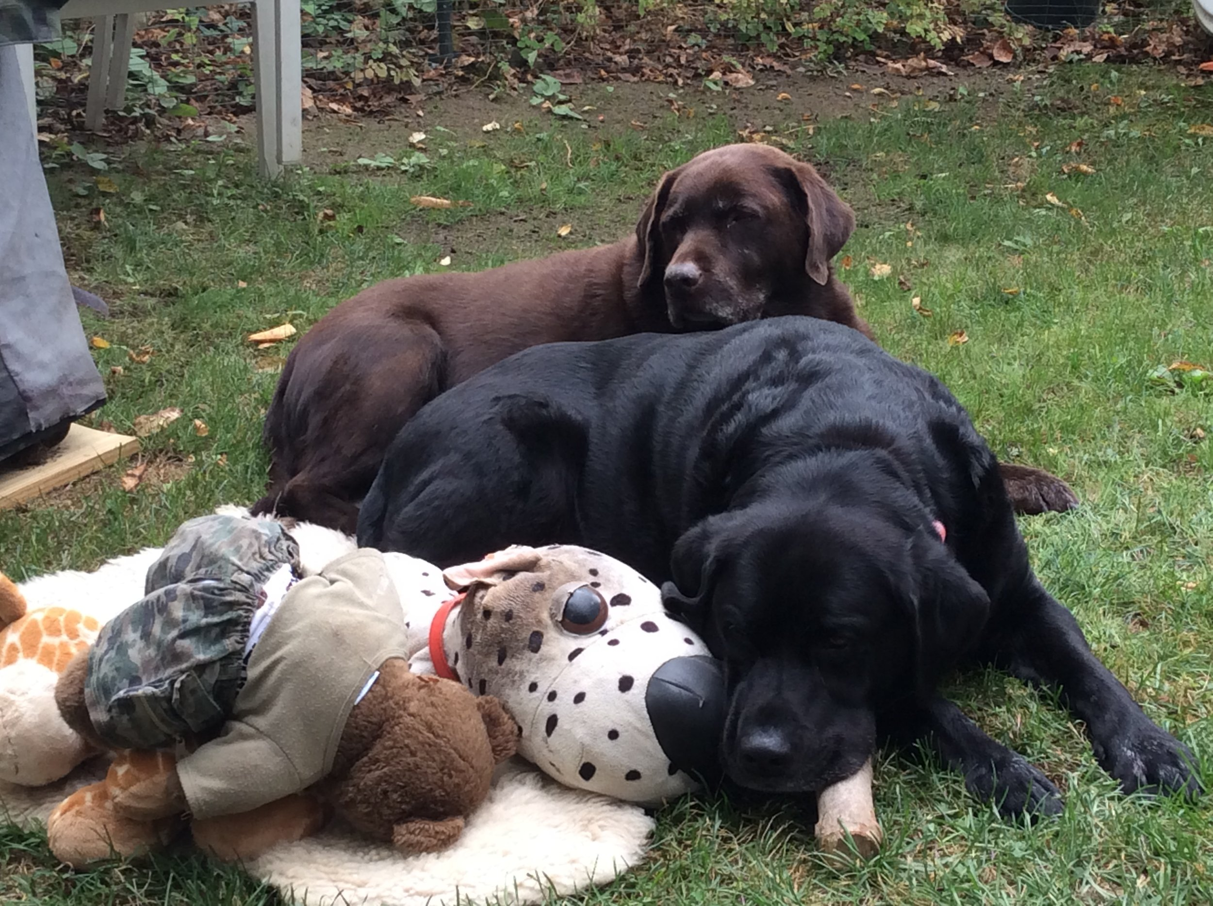 Jeb and Kazar, Julie and Dennis's labs are also part of the family