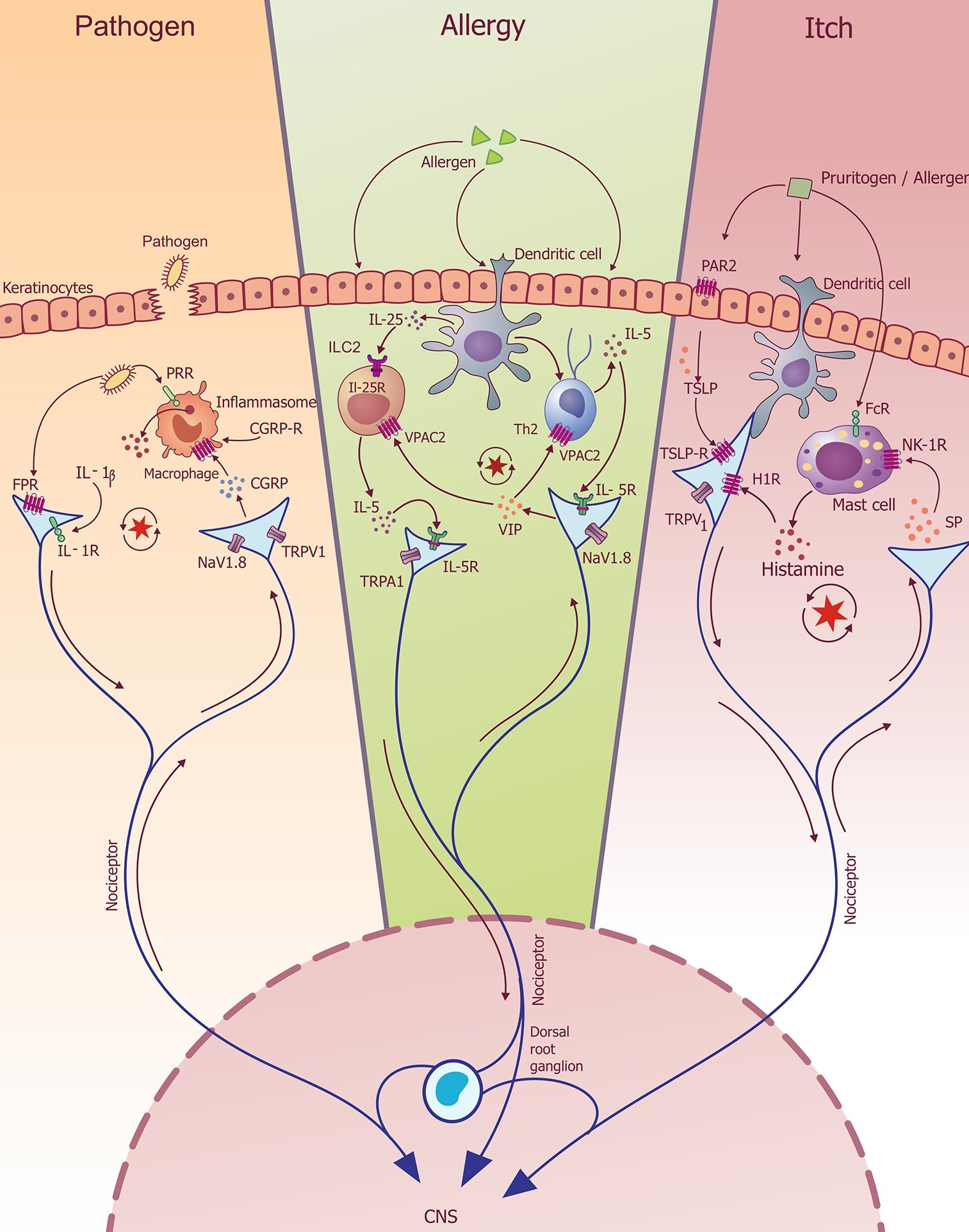 Neuro-Immunology in Health and Disease