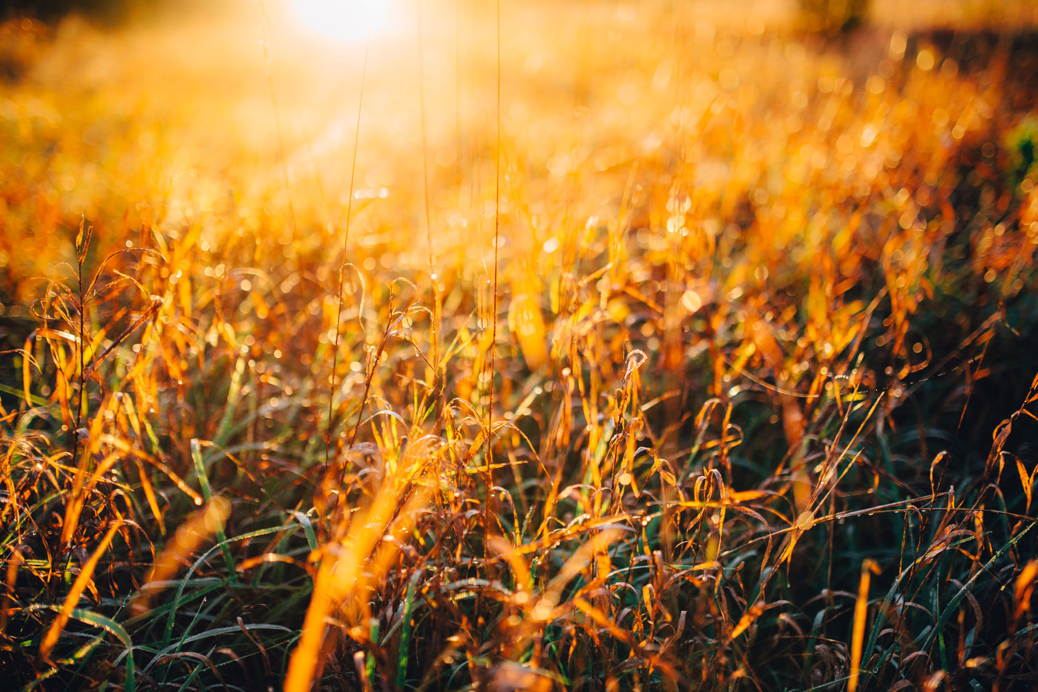 The sun's vibrant rays transformed the field into a golden and lush meadow.