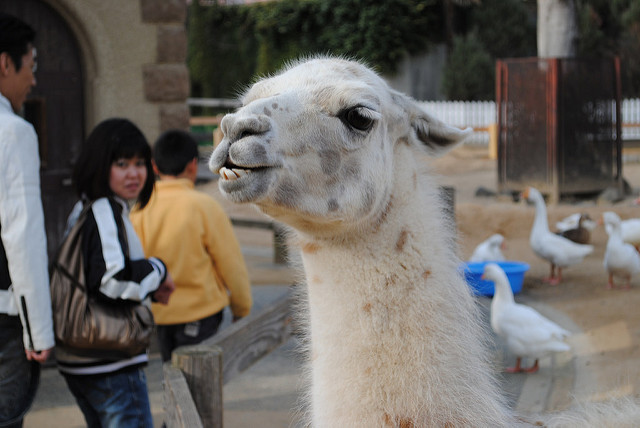 Popups happen at irritating times and photobomb your content and are not as cute as this llama. - If people are fleeing from your website because of irritating popups give yourself a +1