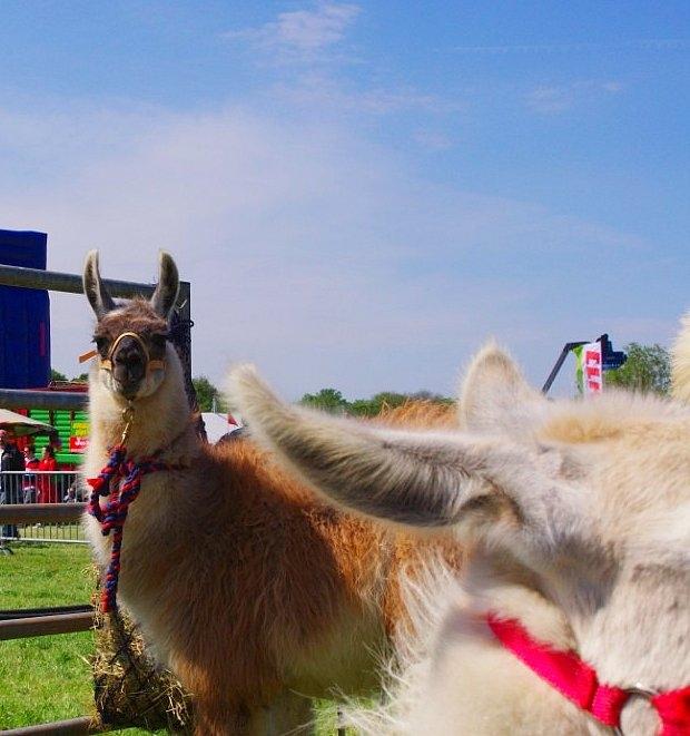 Llama Photobomb--Annoying - Simply annoying