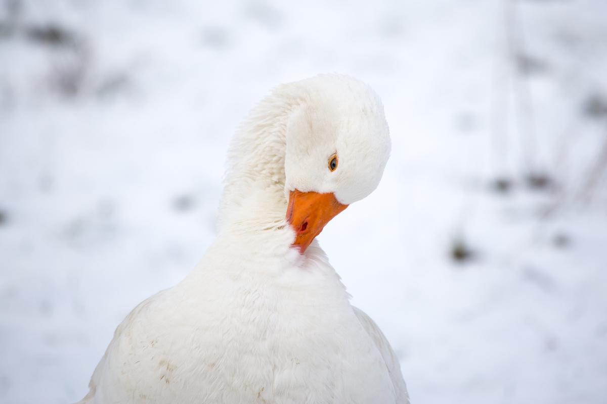 Gans-im-Schnee.JPG