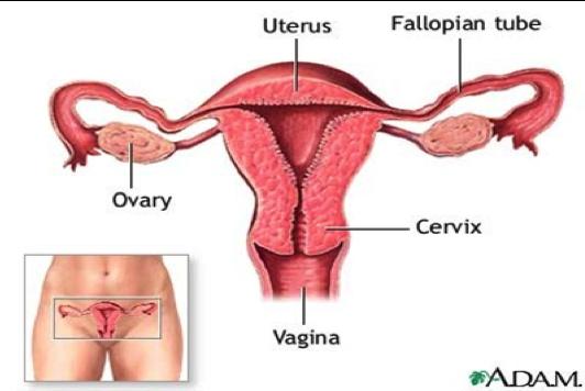 Cervix.png