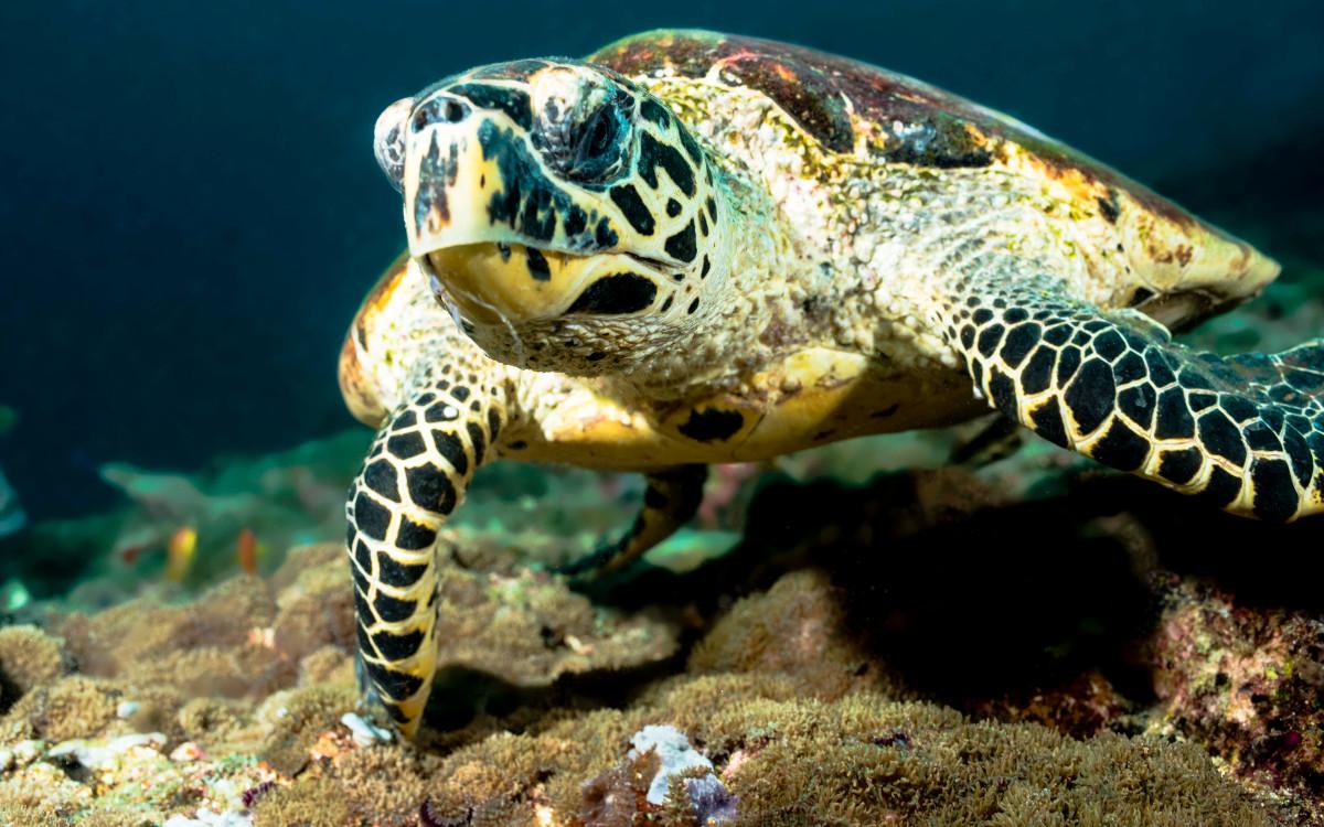 Turtle_Hawksbill_Maldives_October2014_r2fvm1.jpg
