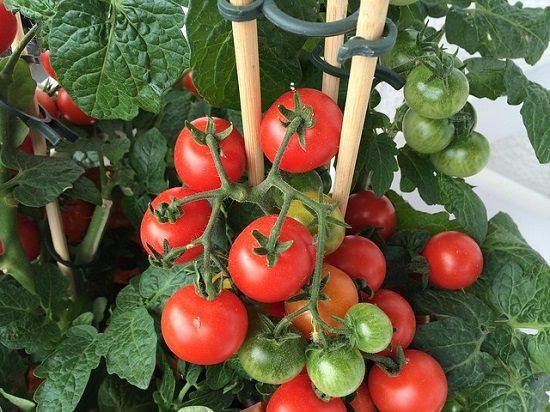 tomato-staking.jpg
