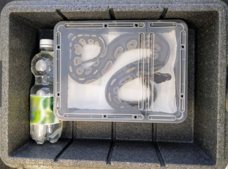 Slange transporteret korrekt til krybdyr dyrlæge Mark Krabbe