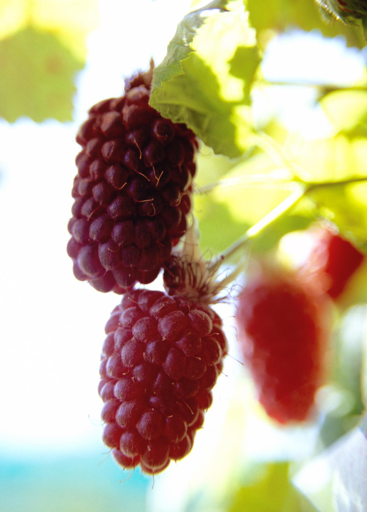 loganberries1.jpg