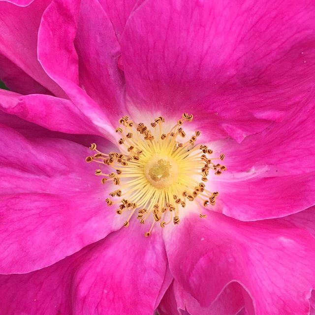 My first rose flower of the year on my Rosa gallica also known as the 'The Apothecary Rose'. This variety was introduced into France from the Middle East by 13th century crusaders 🌸I chose it for it's strong fragrance which I will capture by distilling the petals to make a hydrosol (aromatic water). Perfect as a toner for sensitive skin or cooling spritz in the summer heat🌸 As I have mentioned in a previous post roses symbolise love and commitment. They are heavenly medicine that can soften your edges and gently open up your heart simply by being in their presence. Pure magic! 🌸💕#gallicarose #rosemedicine #planthealing #medicineoftheheart #openyourheart #heavenscent #floweroflove #rosehydrosol #allotmentflowers