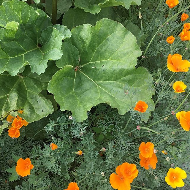 I planted masses of these gorgeous orange California Poppies (Eschscholzia californica) the Spring which are now thriving despite the heat 🧡These beauties are related to the opium poppy, but safe and gentle enough to use by children. Their isoquinoline alkaloids give them their sedative action without addictive properties or any grogginess🧡I usually add them to my sleep prescriptions or those that require some pain relief. Also they can be useful in the day time to calm anxiety🧡I often use them too for menopausal insomnia and hot flushes. Better to use it as a tincture rather than a tea as the doesn't have a pleasant taste ! 🧡#californiapoppy #naturalsleepremedy #naturalsleepsolutions #herbalmedicine #stressbuster #naturalhealingremedies #menopausalsymptoms  #menopause #botanicalmedicine #womensempowerment
