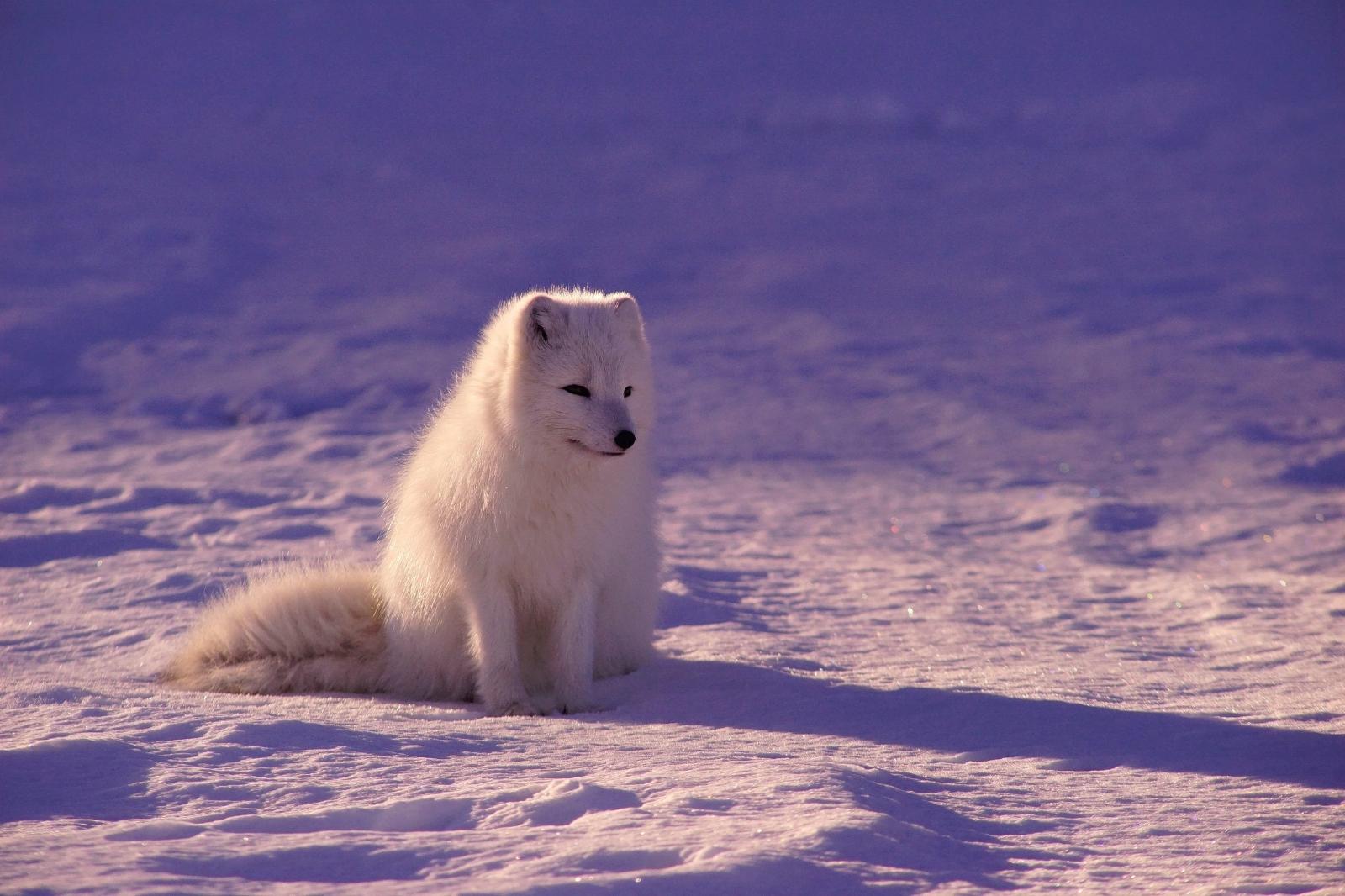 Amazing Arctic Foxes