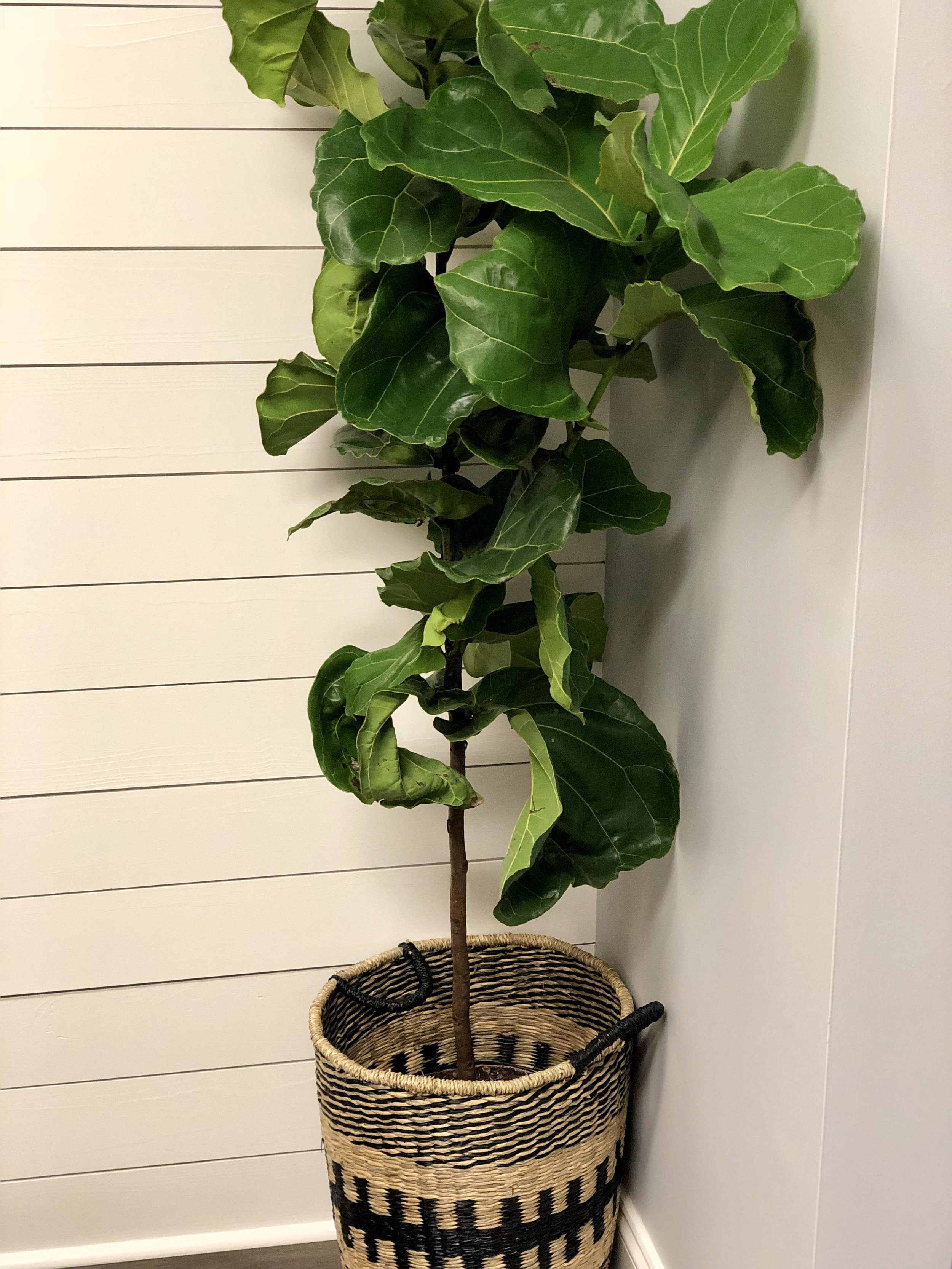 Fiddle fig.jpg