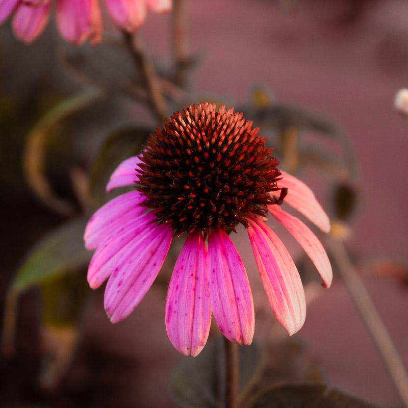 fairflower.jpg
