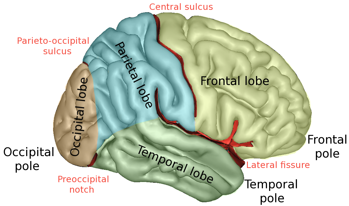 Principal fissures and lobes of the cerebrum viewed laterally. (Frontal lobe is shown in pale green.) Attribution: Sebastian023. Source: https://en.wikipedia.org/wiki/Frontal_lobe