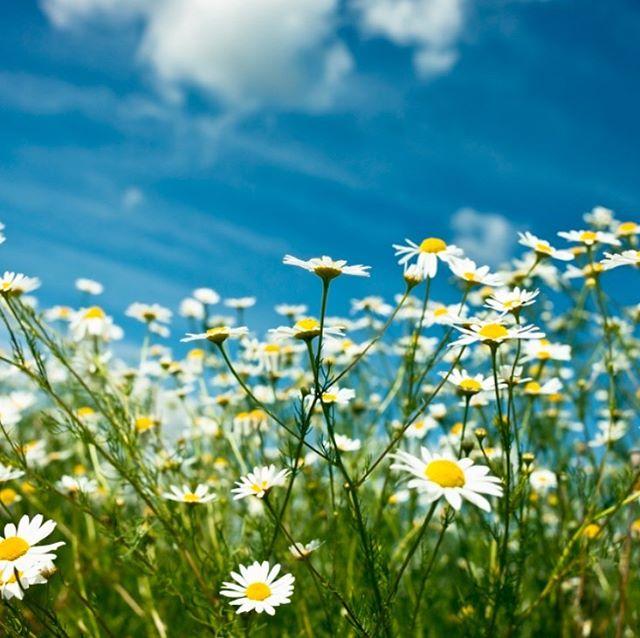 """En sommar i prästkragens tecken  Prästkrage på blomsterspråket betyder """"i dina ögon hittar jag lyckan"""". Med de orden hoppas vi att du får såväl dina egna som andras ögon att glittra av välbehag och kan njuta av sommaren på det sätt som du uppskattar allra mest!  Trevlig sommar, önskar vi på Trust!"""