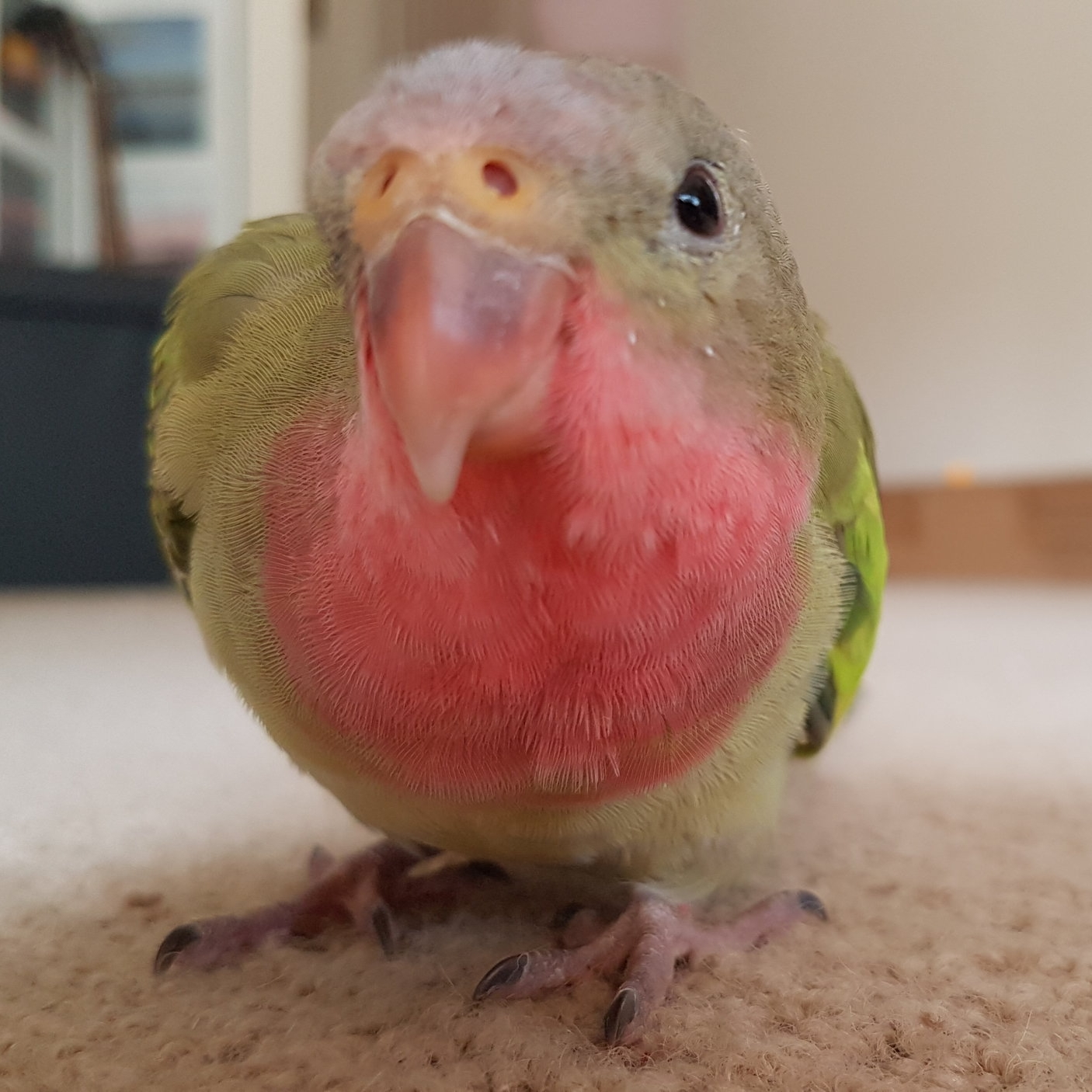 GIDGET, Princess of Wales Parrot, female, born 2015