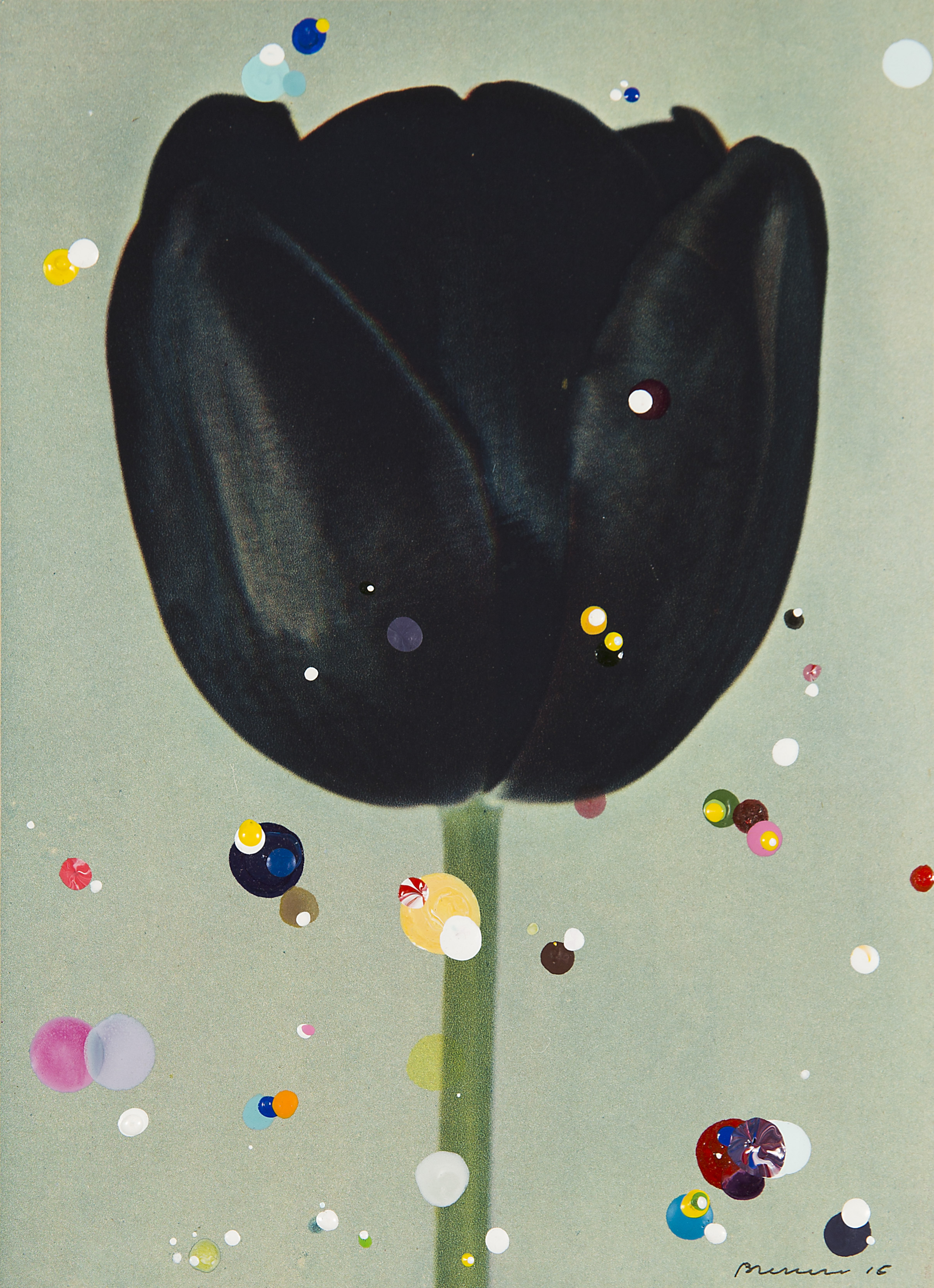 Darwin Tulip Queen of Night
