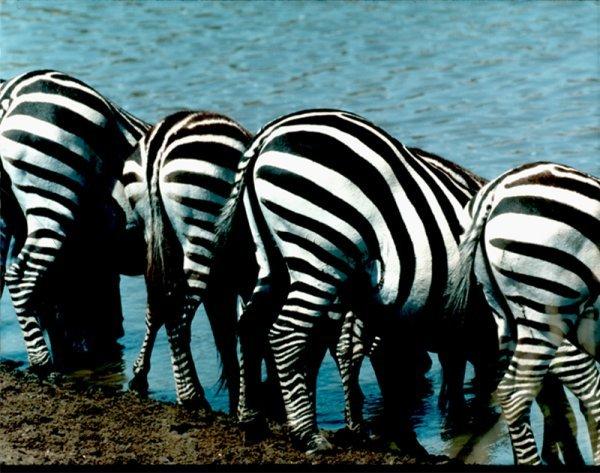"""Zebra Butts"" copyright 2000  Richard Jackson"