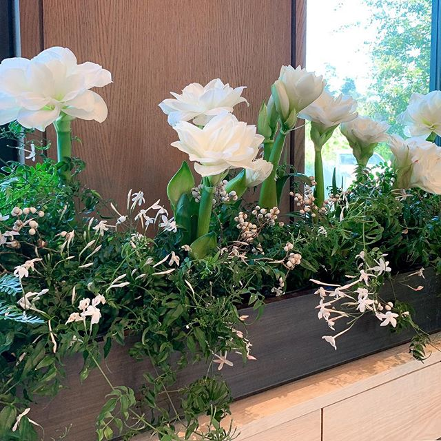 Winter blooms! #amaryllis #interiorplants #plantsmakepeoplehappy #houseplants #plants #florals #jasmine